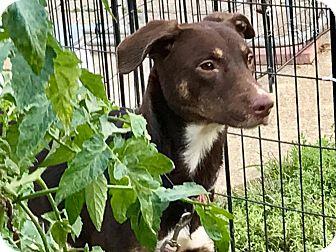 Doberman Pinscher Mix Dog for adoption in Cleveland, Ohio - Goosebumps