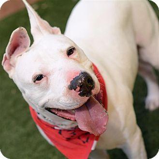 Dogo Argentino Dog for adoption in Sedona, Arizona - Kane