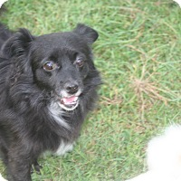 Pomeranian/Chihuahua Mix Dog for adoption in Clear Brook, Virginia - Mr. Wiggles