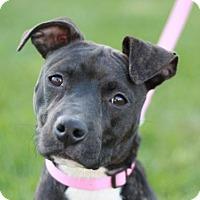 American Pit Bull Terrier/Labrador Retriever Mix Dog for adoption in Staunton, Virginia - Miyah