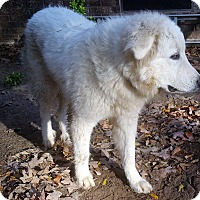 Adopt A Pet :: Yeti - Arrives 12/3! - Ascutney, VT