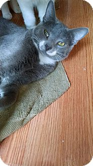 American Shorthair Cat for adoption in Ponchatoula, Louisiana - Flip Flop