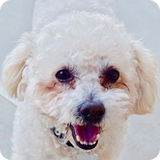 Bichon Frise Mix Dog for adoption in La Costa, California - Sparky