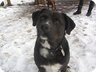 Labrador Retriever Mix Dog for adoption in Ridgway, Colorado - Zeus