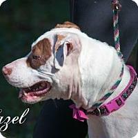 Adopt A Pet :: Hazel - Middleburg, FL