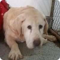 Adopt A Pet :: Bruno ❤ - Livonia, MI