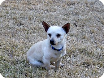 Chihuahua Mix Dog for adoption in Alexandria, Virginia - Elvis
