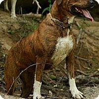 Adopt A Pet :: Zahira-AMAZING TALE - Maysel, WV