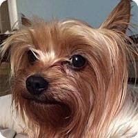 Adopt A Pet :: Sashi - Clearwater, FL