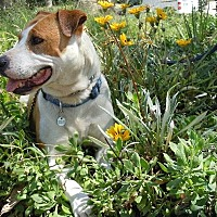 Pit Bull Terrier Mix Dog for adoption in Midway City, California - Maggie