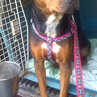 Adopt A Pet :: Lady - Orange Lake, FL