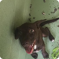 Adopt A Pet :: Cocoa - Gadsden, AL