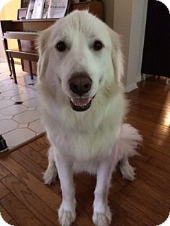 Great Pyrenees Mix Dog for adoption in Austin, Texas - Jack
