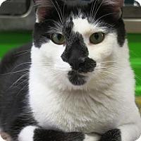 Adopt A Pet :: Spade - Northbrook, IL