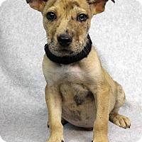 Adopt A Pet :: Jacob - Westminster, CO