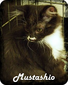 Domestic Longhair Kitten for adoption in Anaheim Hills, California - Mustashio
