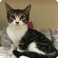 Domestic Shorthair Kitten for adoption in Carrollton, Virginia - Phil