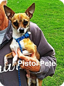 Chihuahua Mix Dog for adoption in Polson, Montana - Pistol Pete