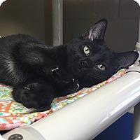 Adopt A Pet :: Ember - Germantown, TN