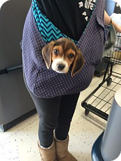 Beagle Mix Puppy for adoption in Rockville, Maryland - Baby Duke