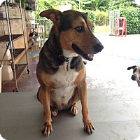 Shepherd (Unknown Type) Mix Dog for adoption in Waipahu, Hawaii - Poi