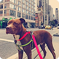 Adopt A Pet :: LOBSTER - New York, NY