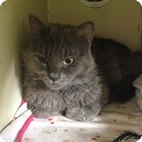 Russian Blue Cat for adoption in Richland Hills, Texas - Bambi