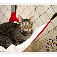 Domestic Shorthair Cat for adoption in Fallbrook, California - Renlee