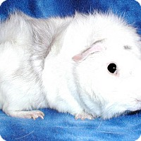 Adopt A Pet :: Bach - Steger, IL