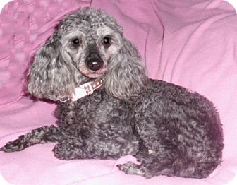 Poodle (Miniature) Dog for adoption in Mooy, Alabama - Sierra