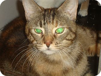 Domestic Shorthair Cat for adoption in Elmhurst, Illinois - Olive Jane