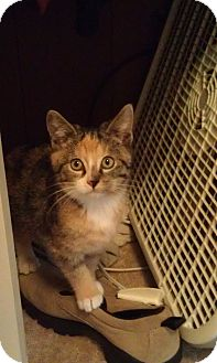 Calico Kitten for adoption in Cleveland, Ohio - Angel