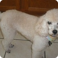 Poodle (Miniature) Dog for adoption in Melbourne, Florida - PICO