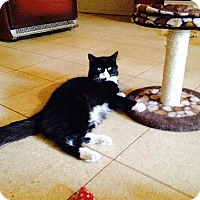 Domestic Longhair Cat for adoption in Staten Island, New York - Bella