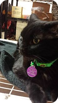 American Shorthair Cat for adoption in Chicago, Illinois - Jazzi