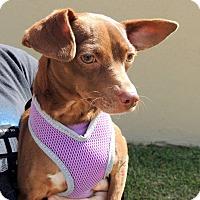 Adopt A Pet :: Junie - Humble, TX