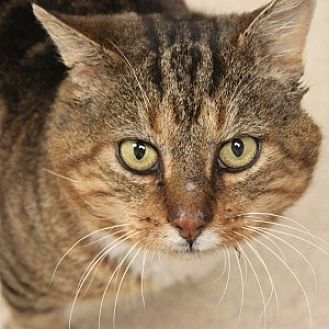 Domestic Shorthair Cat for adoption in Naperville, Illinois - Michael