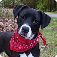 Adopt A Pet :: Batzee - Mocksville, NC