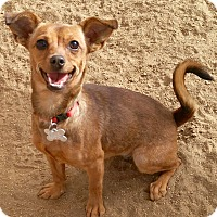 Adopt A Pet :: SANDY - Valley Village, CA