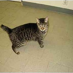 Photo 2 - Domestic Shorthair Cat for adoption in New York, New York - Suggy