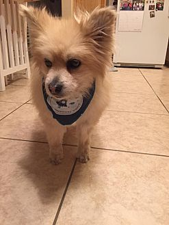 Pomeranian Dog for adoption in Henderson, Nevada - Buddy 2