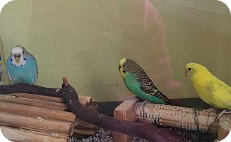 Parakeet - Other for adoption in Middle Island, New York - Parakeets