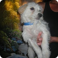 Adopt A Pet :: Terrier puo - Moreno Valley, CA
