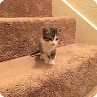 Adopt A Pet :: Isabelle - Austin, TX