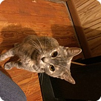 Domestic Shorthair Cat for adoption in Carlisle, Pennsylvania - MazeCP