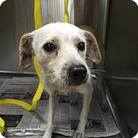 Adopt A Pet :: Pearl - Miami, FL