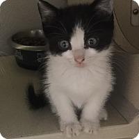 Adopt A Pet :: Oreo - Richland Hills, TX