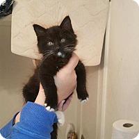 Adopt A Pet :: Mittens - Tumwater, WA