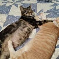 Domestic Shorthair Cat for adoption in Spring, Texas - Junior