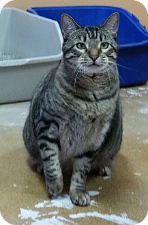 Domestic Shorthair Cat for adoption in St. Louis, Missouri - Sam